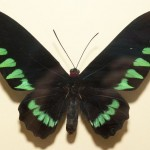 Дом бабочек — труп бабочки в рамке